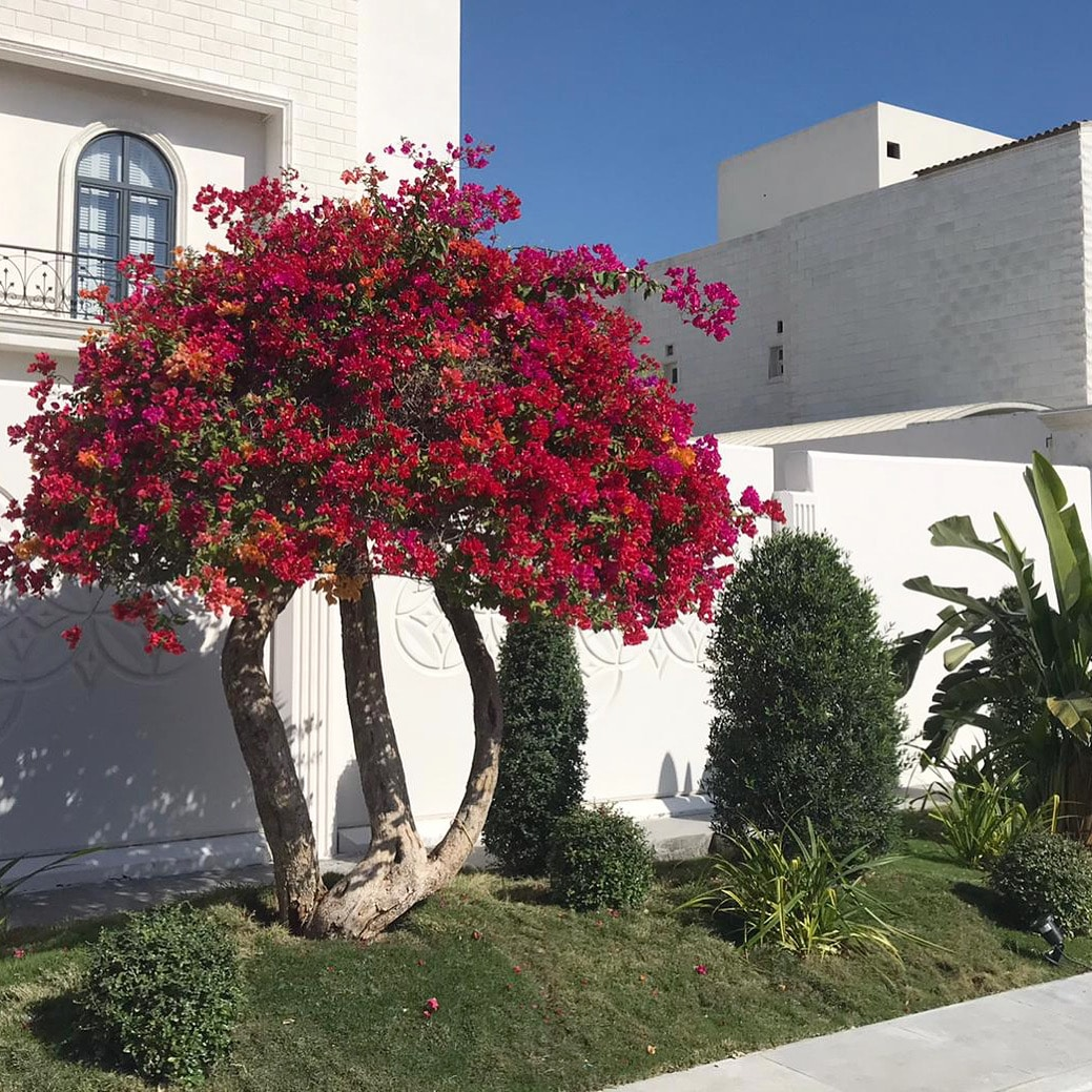 Large pink bougainvillea with grass and banana plant in palace garden