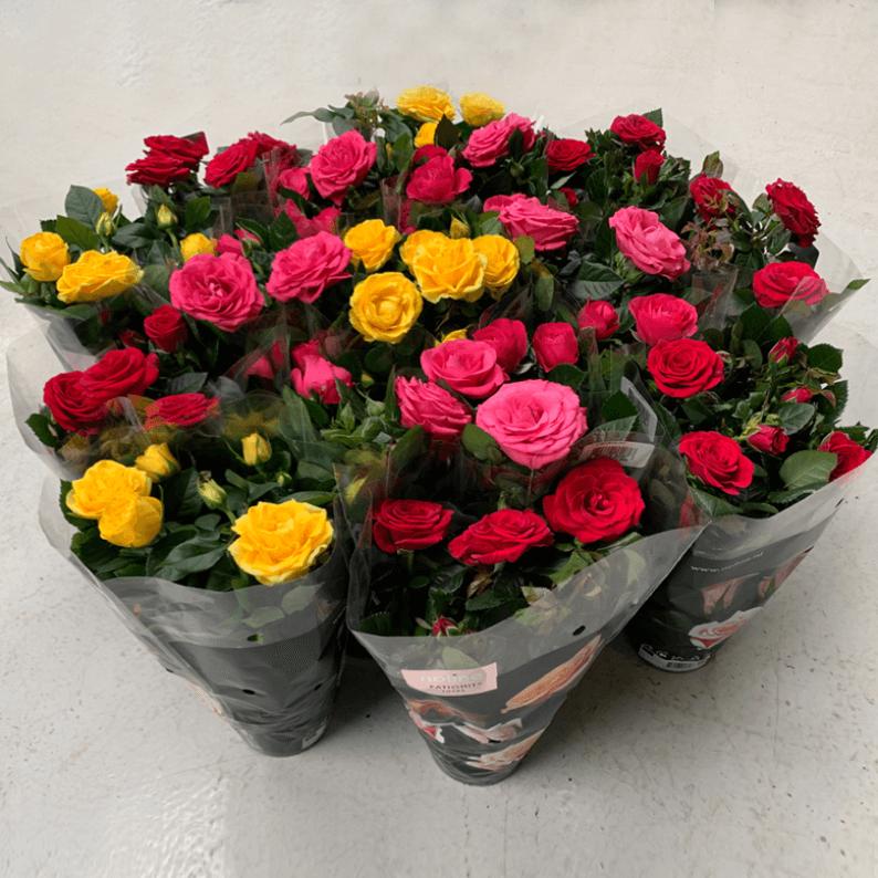 twelve mixed mini roses