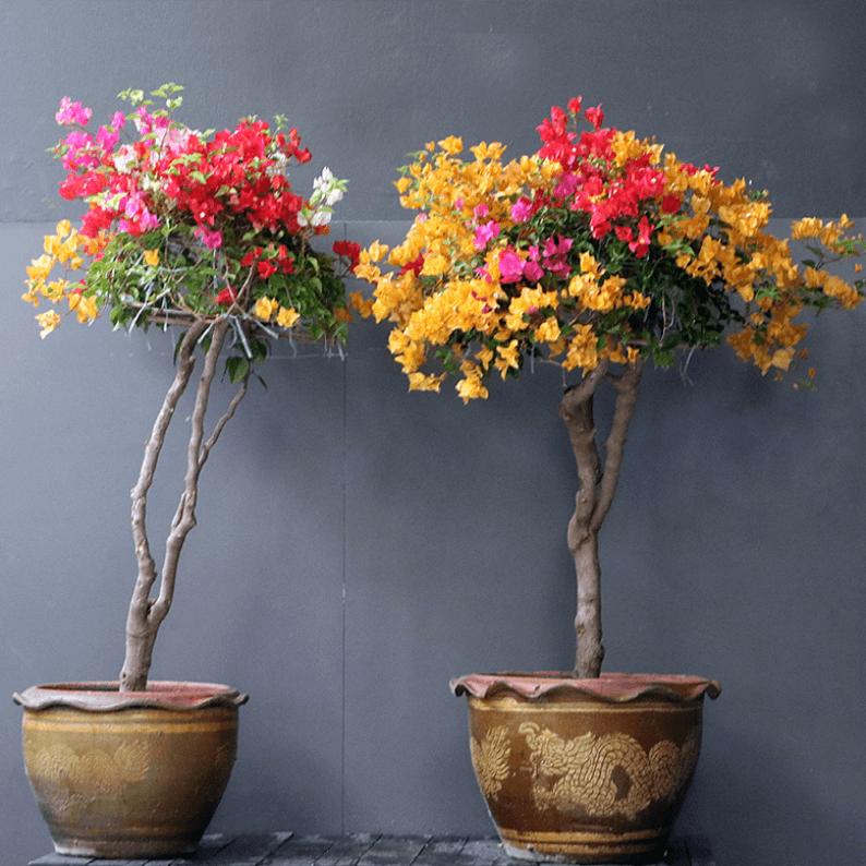 two multi coloured bougainvillea in pots