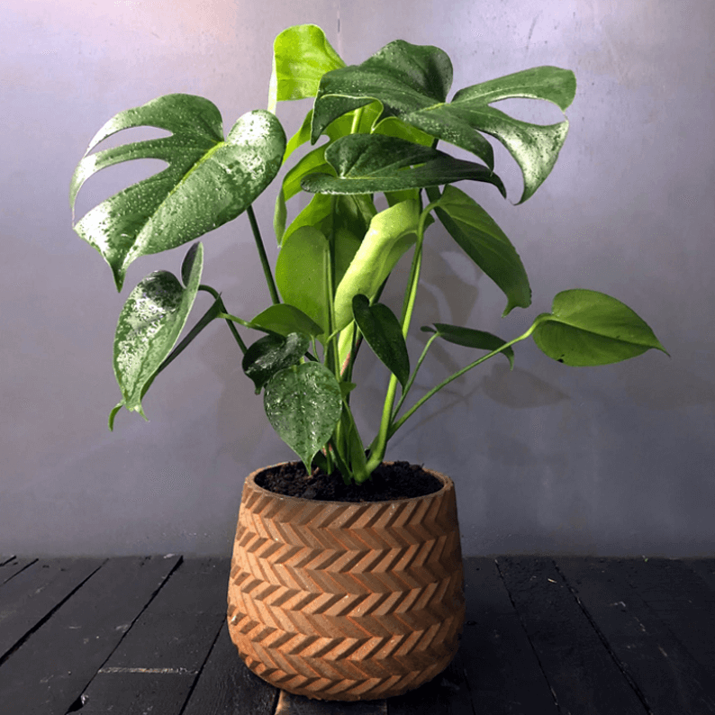 monstera plant in a brown pot