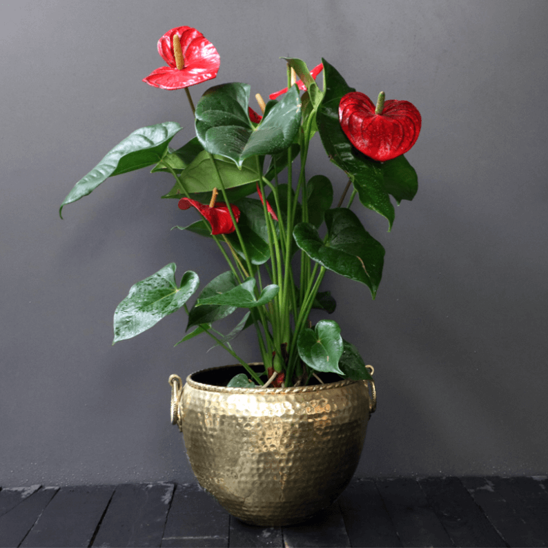 red anthurium in a gold pot