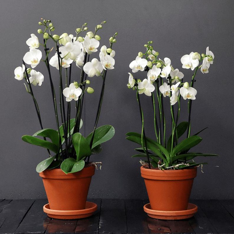 white phalaenopsis in terracotta pots