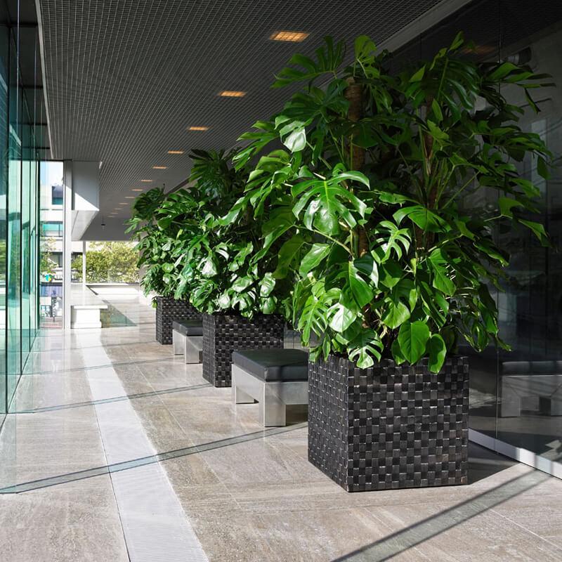 huge monstera plants in wicker baskets