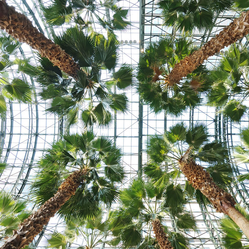 tall palms in a greenhouse