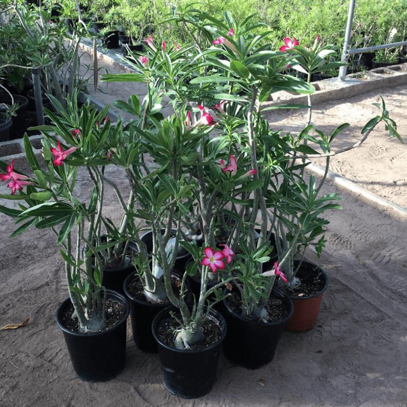 ten desert rose plants