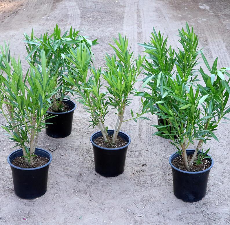 Oleander plants