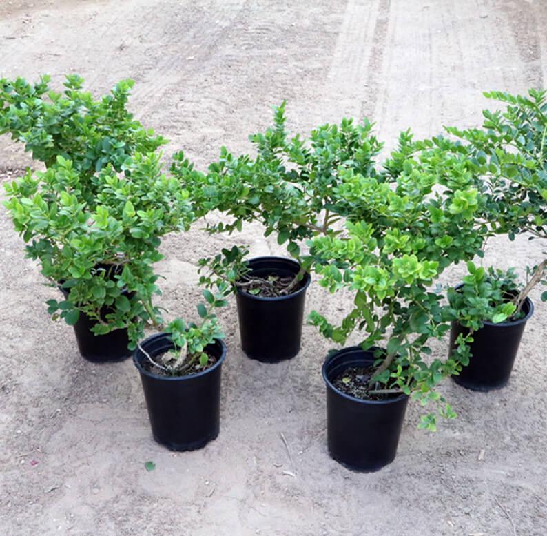 five carissa plants