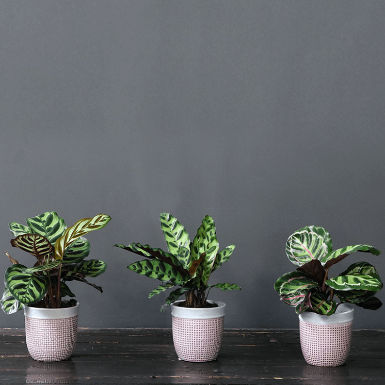 calathea in pink pots