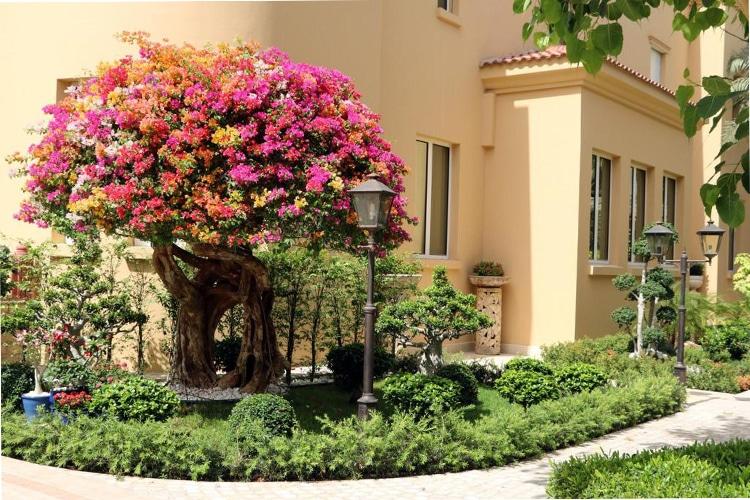 Huge multi coloured bougainvillea in landscaped garden