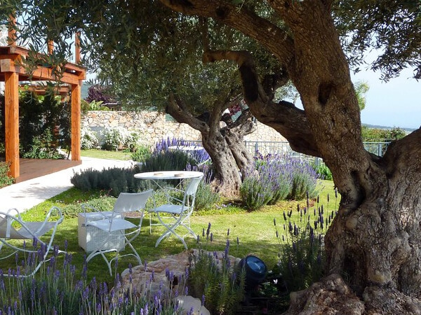 Mediterranean garden with lavender and olive trees
