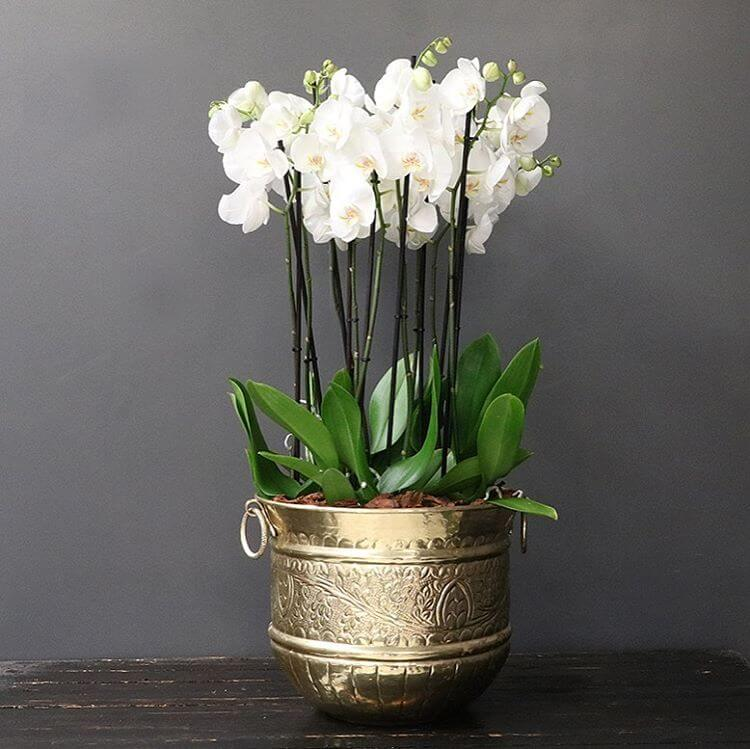 white phalaenopsis orchids in a gold pot