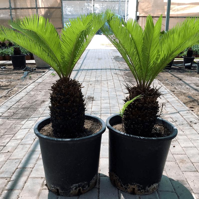 two cycas plants