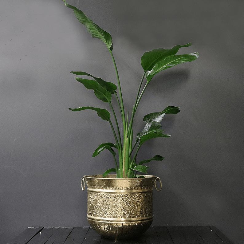 Strelitzia also known as bird of paradise in a gold pot