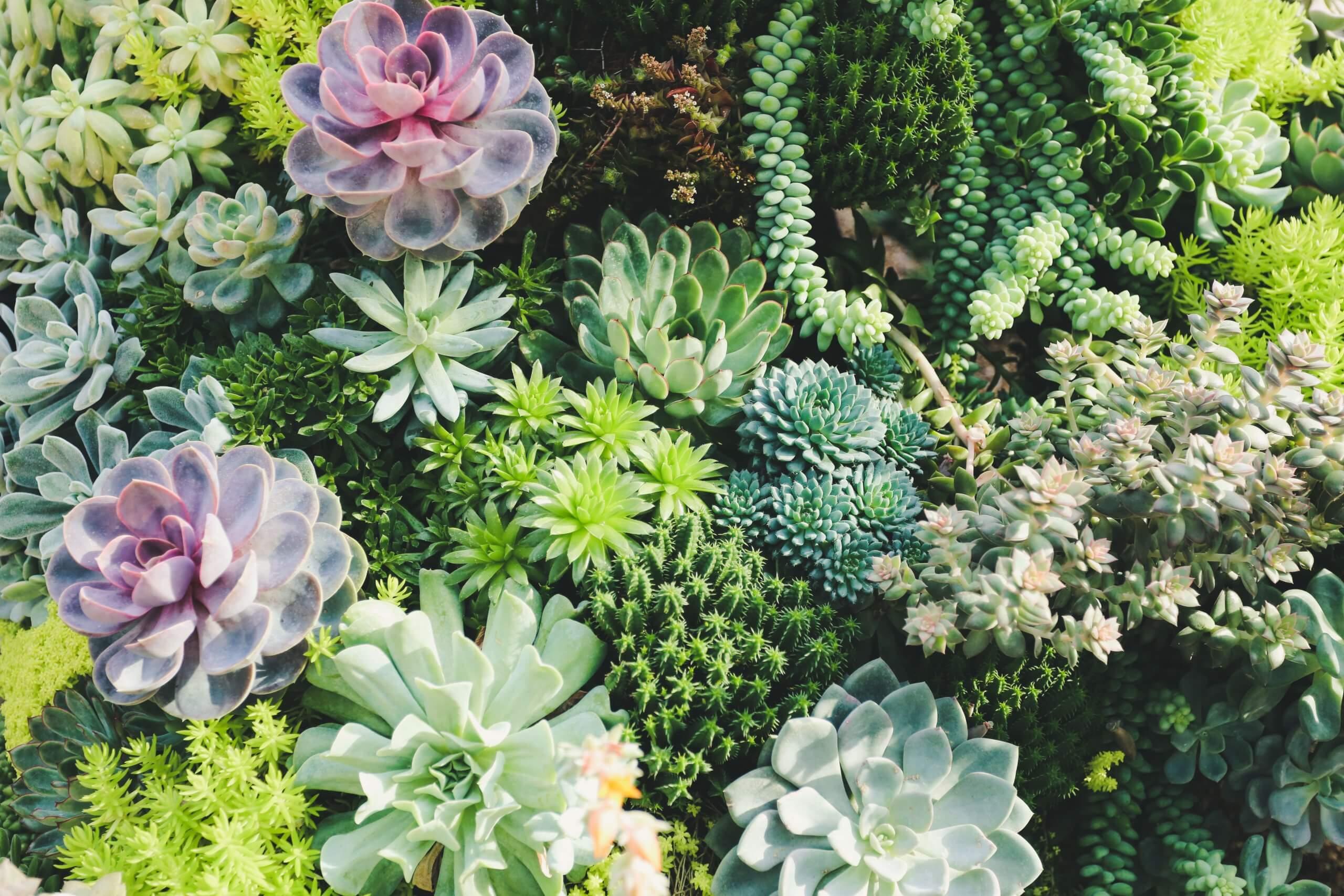 Succulent - Succulents - indoor plant - house plant