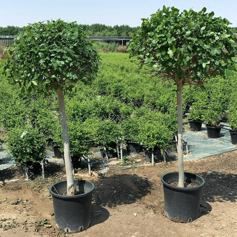 Streblus trees
