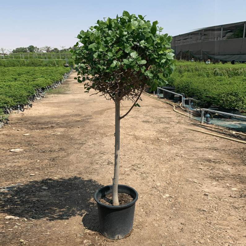 streblus tree