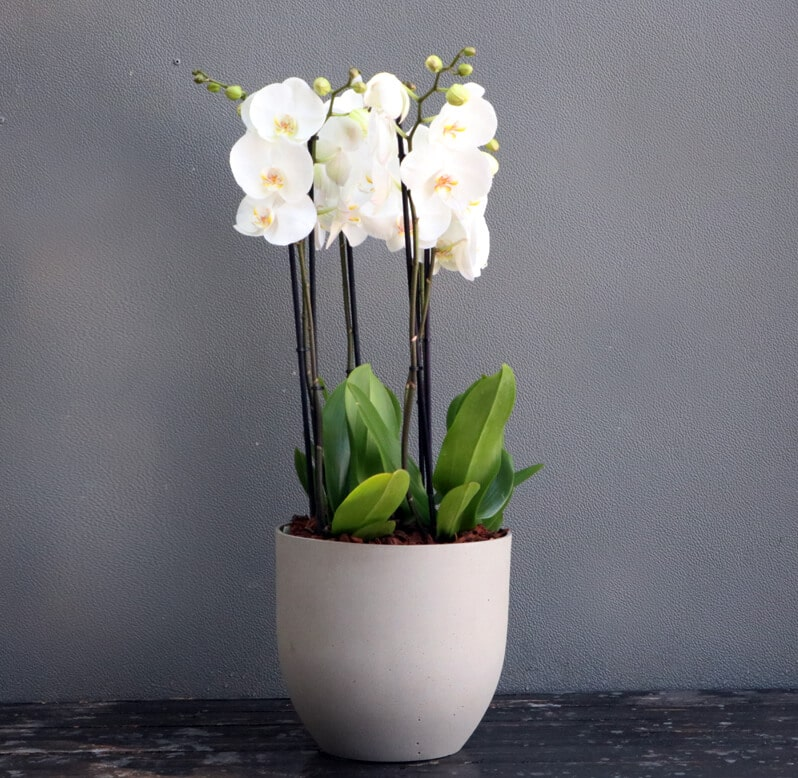 Three White Phalaenopsis Orchid plants potted in a grey pot