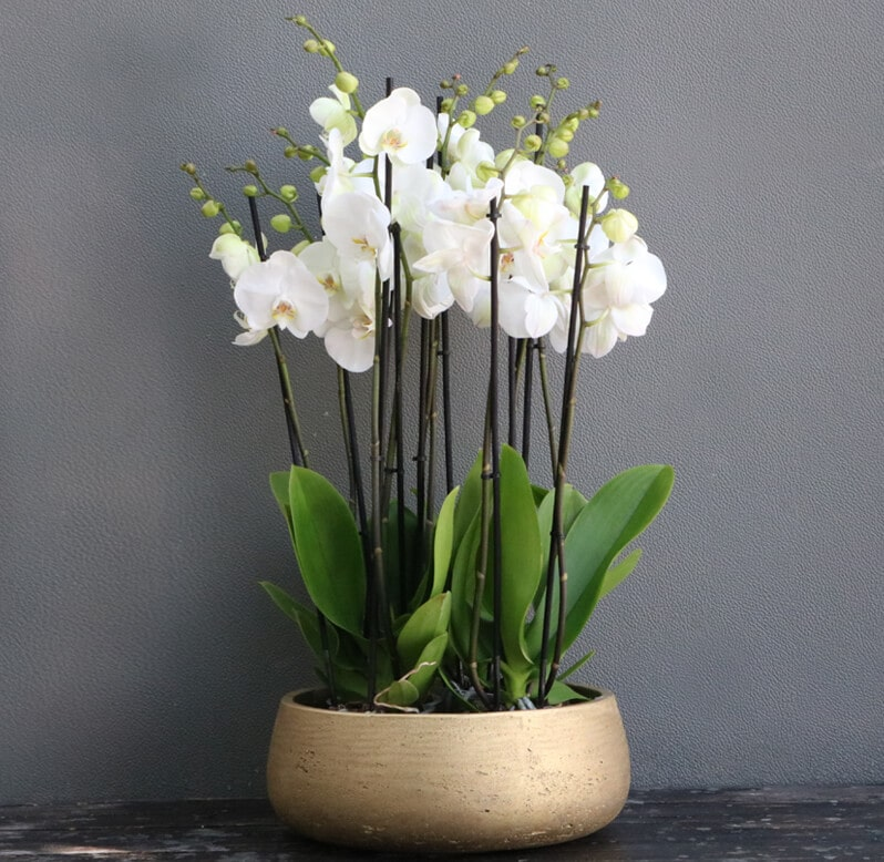Four White Phalaenopsis planted in an round gold pot