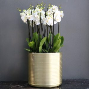 Six white phalaenopsis orchids planted in a large tall gold pot