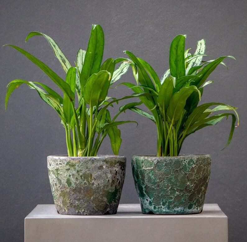 Dumb Cane plants in a textured pot