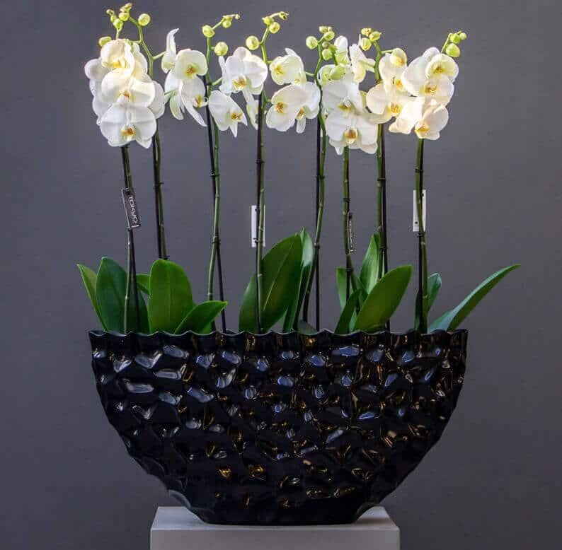 Four white phalaenopsis orchids in a black pot