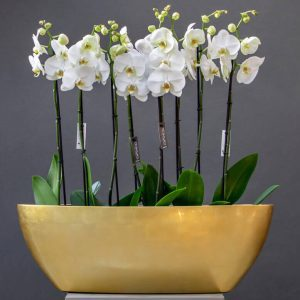 White phalaenopsis plants in an oval pot