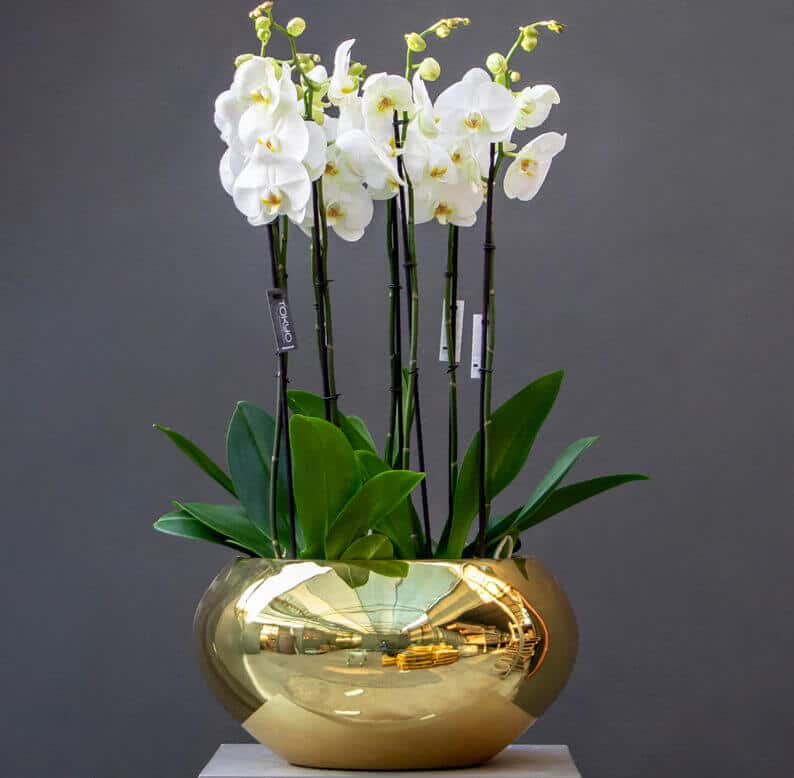 Welcome Home Phalaenopsis orchid in a gold pot