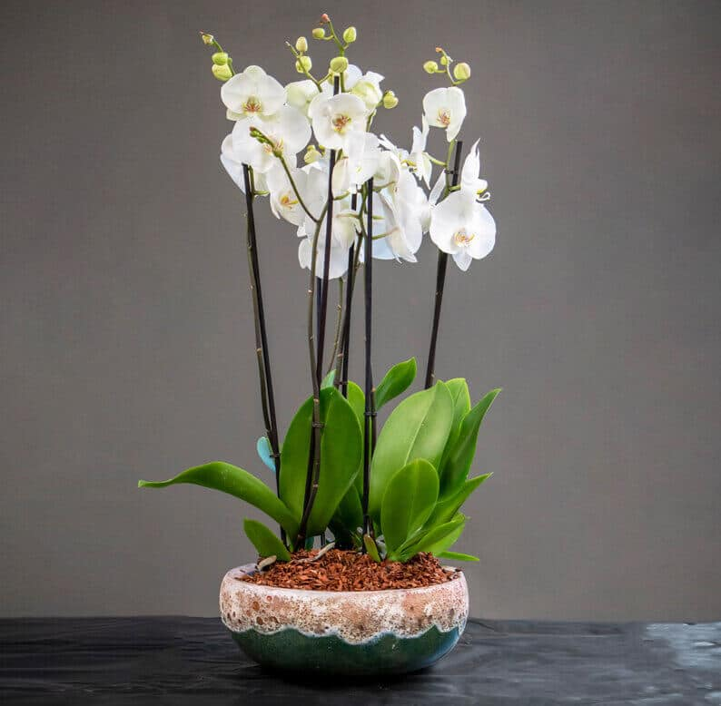 White phalaenopsis orchids in a pot