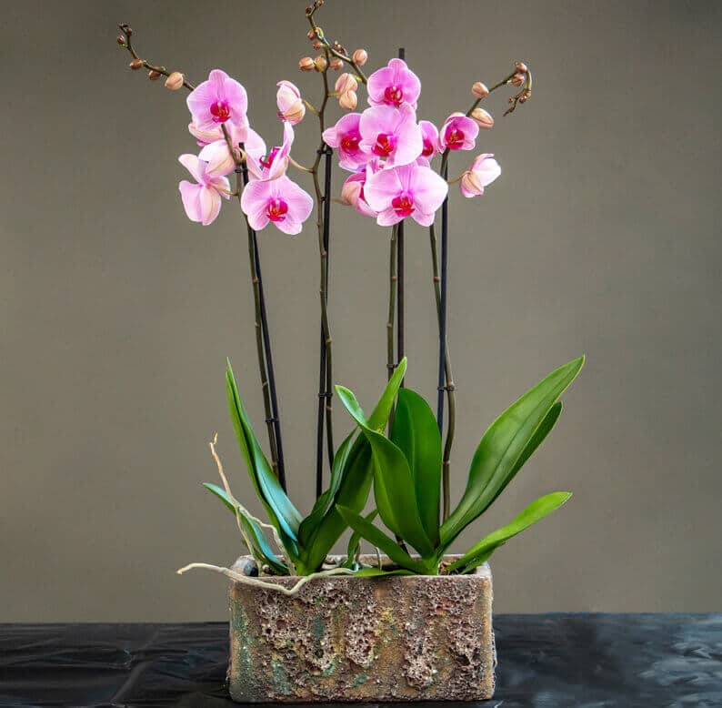 Pink Phalaenopsis in pots