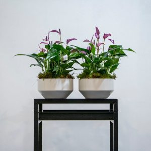 two purple anthuriums in white pots