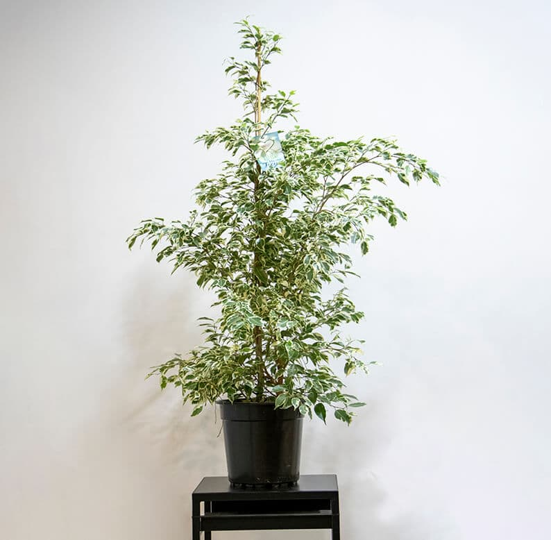 variegated ficus