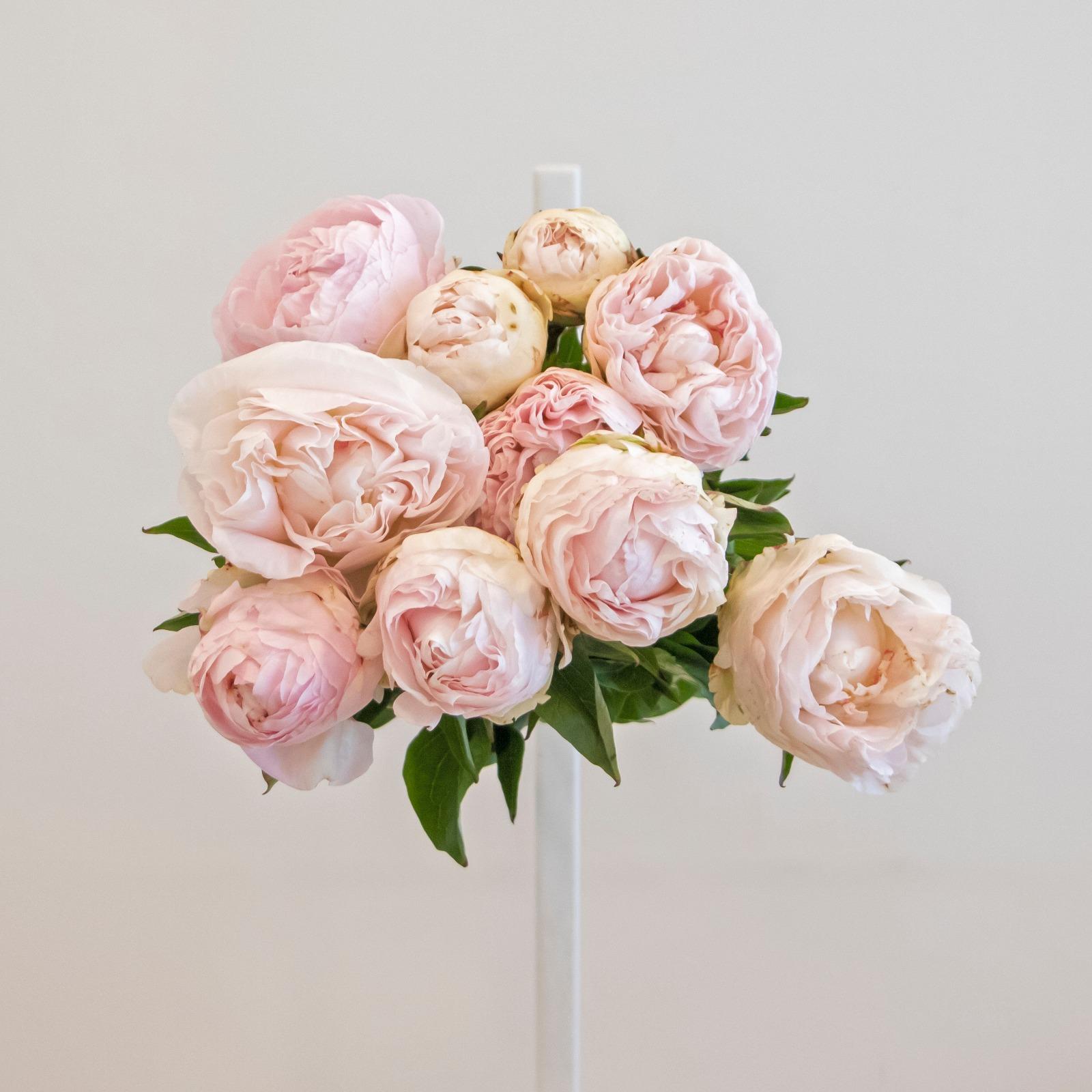Light pink peonies cut flower