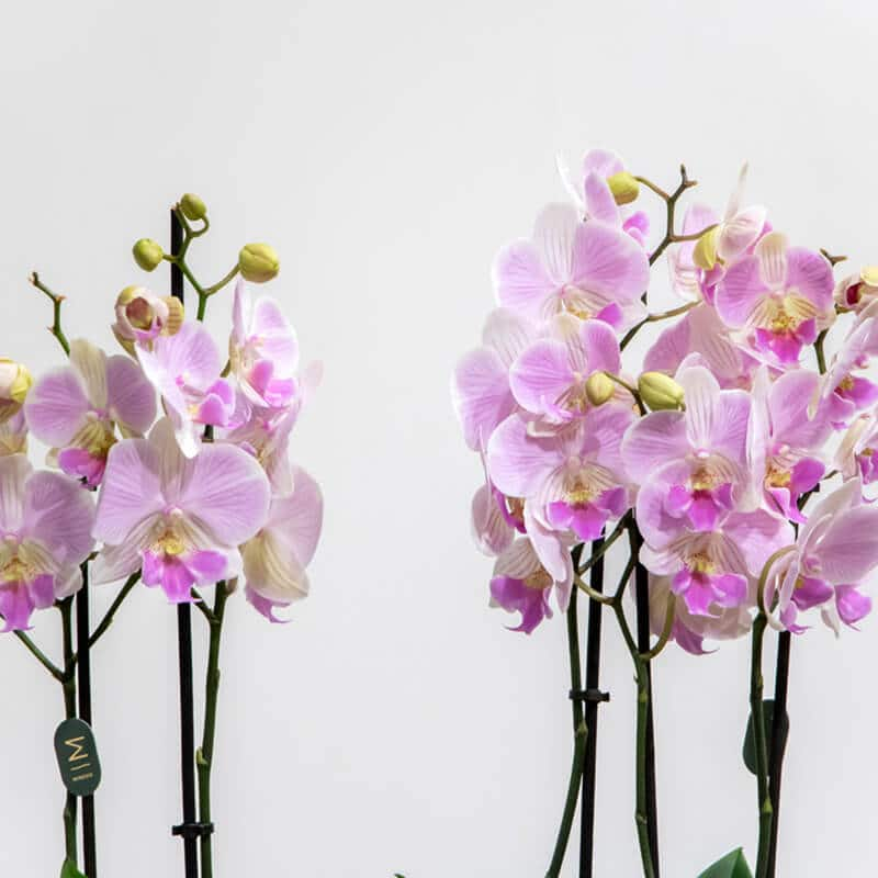 Phalaenopsis orchid close up