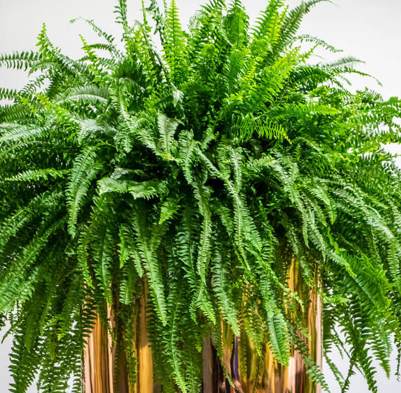 close up of boston fern
