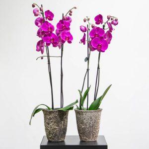 Purple phalaenopsis in a pot