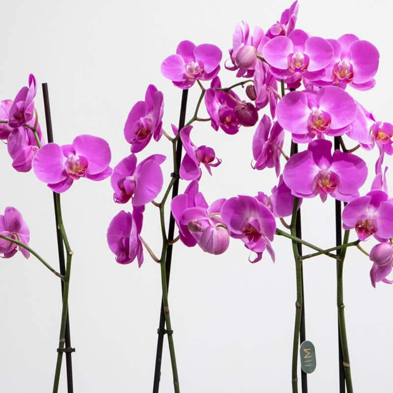Close up of purple orchids