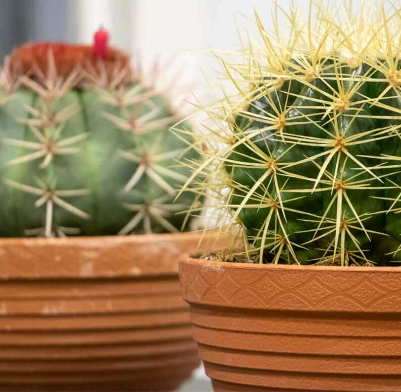 close up 2 of cactus plants