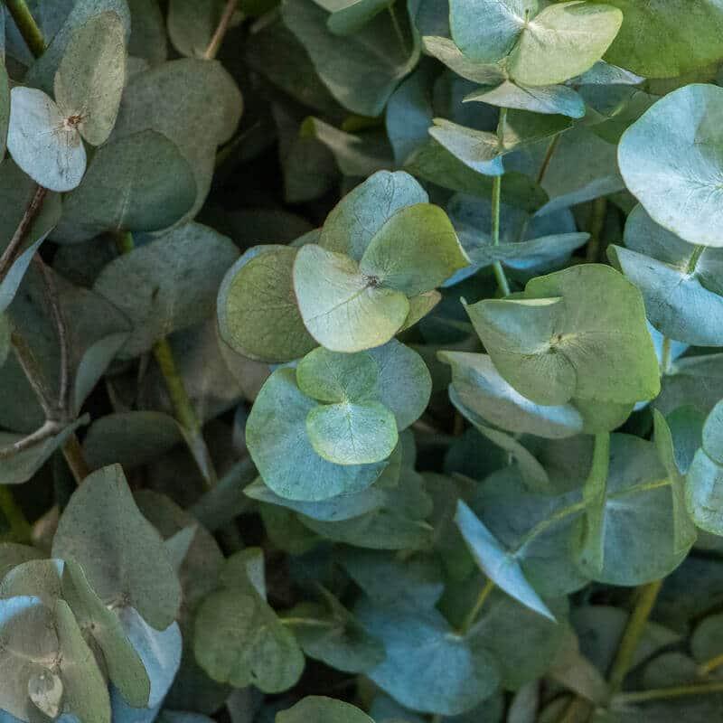 Close up of Eucalyptus
