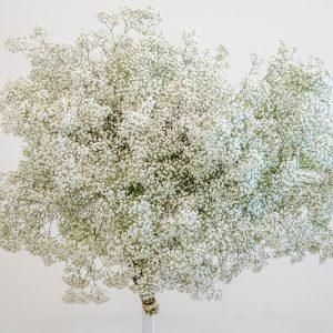 Gypsophelia