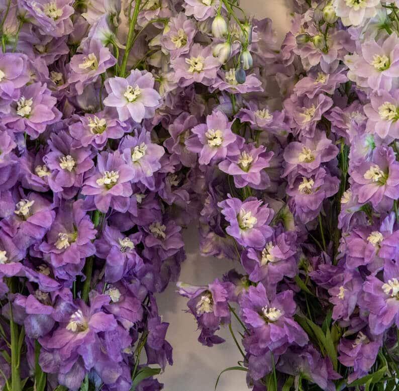 purple delphinium close up