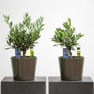 Miniature olive trees