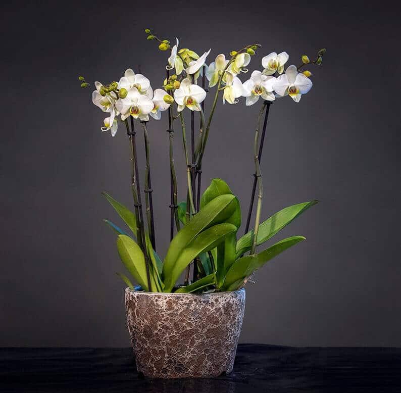 White phalaenopis orchids