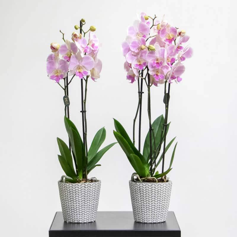 pink phalaenopsis in white pots