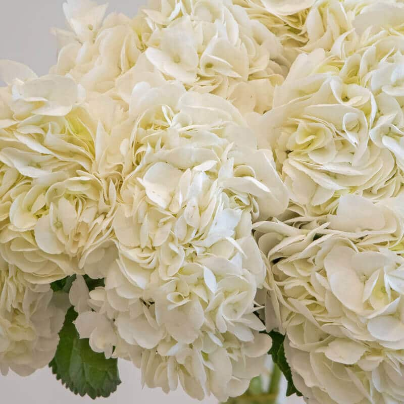 White hydrangea close up