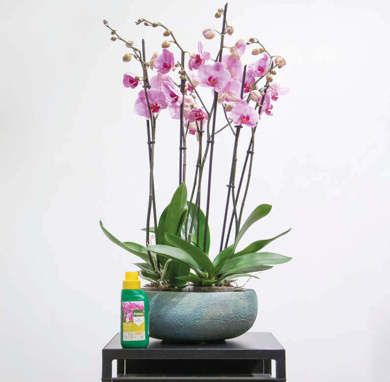 Pink Phalaenopsis in a green pot