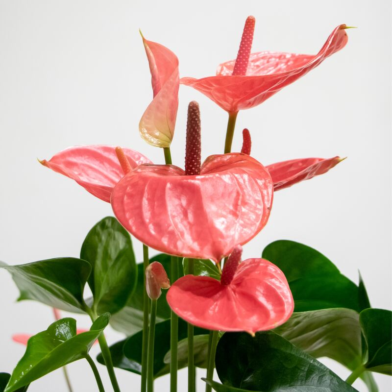 Close up of pink anthurium