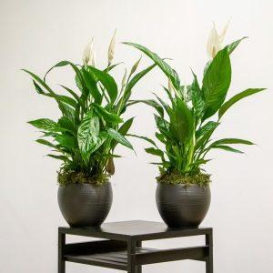 Two spathiphyllum