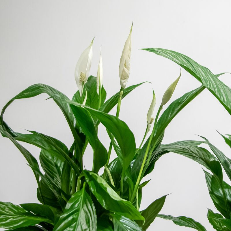 Close up of spathiphyllum