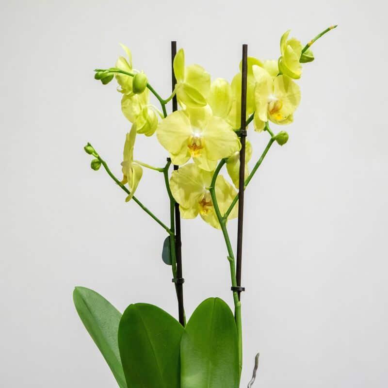 Yellow phalaenopsis close up