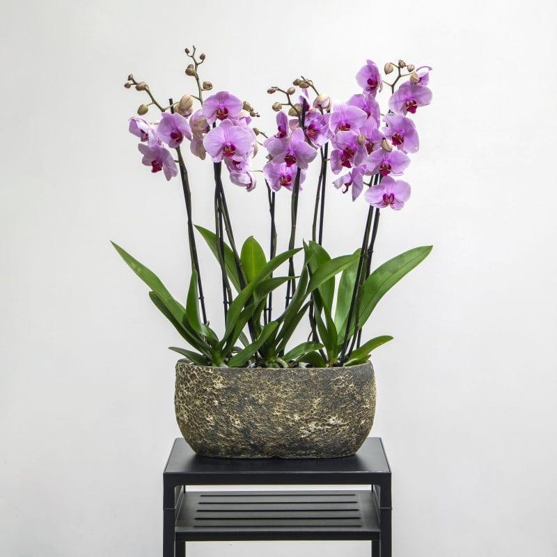 Light purple phalaenopsis